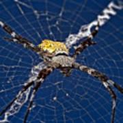 Orb-weaver Spider Art Print