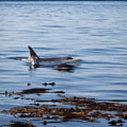 Orca Whales In The San Juan Islands Art Print
