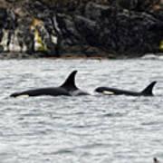 Orcas In The Salish Sea Art Print