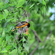 Orchard Oriole Feeding The Kids Art Print