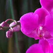 Orchid 18 Art Print