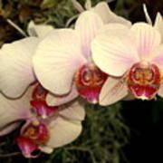 Orchid 19 Art Print
