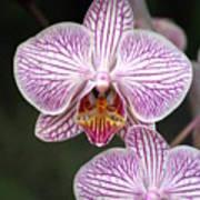 Orchid 22 Art Print