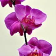 Orchid 26 Art Print