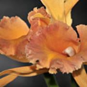 orchid 955 Orange Brassolaeliocattleya Art Print