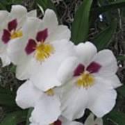 Orchid Beauties Art Print