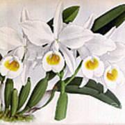 Orchid, C. Eldorado Virginalis, 1891 Art Print