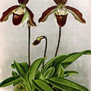 Orchid, C. Oenanthum Superbum, 1891 Art Print