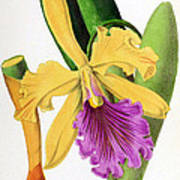 Orchid, Cattleya Dowiana, 1880 Art Print