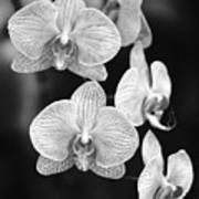 Orchid Cluster Close-up Art Print
