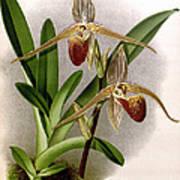 Orchid, Cypripedium Elliottianum, 1891 Art Print