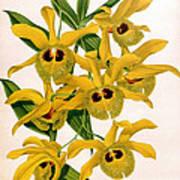 Orchid, Dendrobium Chrysotis, 1891 Art Print