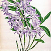 Orchid, Dendrobium Transparens, 1891 Art Print
