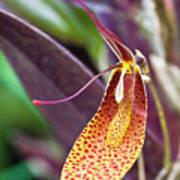 Orchid Flower - Restrepia Radulifera Art Print