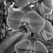 Orchid Glory Black And White Art Print