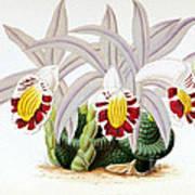 Orchid, Pleione Lagenaria, 1880 Art Print