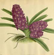 Orchid Saccolabium Ampullaceum  Art Print