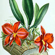 Orchid, Sophronitis Grandiflora, 1880 Art Print