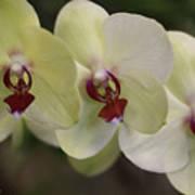 Orchid White Trio Art Print