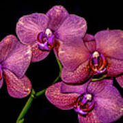 Orchids In Bloom Art Print
