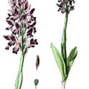 Orchis Militaris, The Military Orchid Art Print