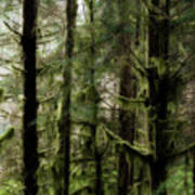 Oregon Old Growth Coastal Forest Art Print