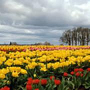 Oregon Tulip Fields 2 Photograph Art Print