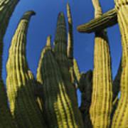 Organ Pipe Cactus Arizona Art Print