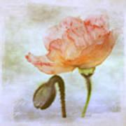 Oriental Poppy And Bud Art Print