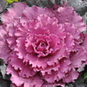 Ornamental Cabbage Art Print