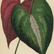 Ornamental Yam  Dioscorea Discolor Art Print
