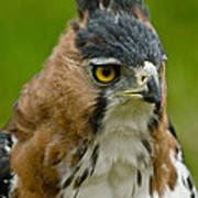 Ornate Hawk Eagle Art Print