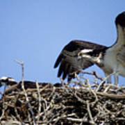 Osprey At Nest-2 Art Print