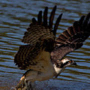 Osprey Catching A Fish Art Print