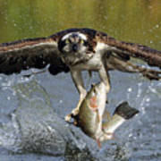 Osprey Catching Trout Art Print