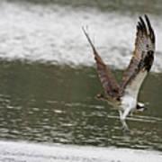 Osprey Dive Art Print