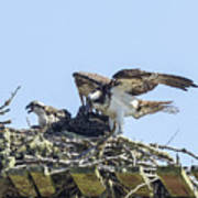 Osprey Family Portrait No. 1 Art Print