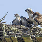 Osprey Family Portrait No. 2 Art Print