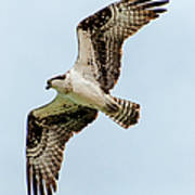 Osprey Hovering Art Print