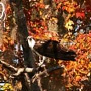 Osprey In Fall Art Print