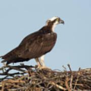 Osprey In Nest Art Print