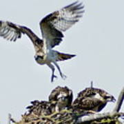 Osprey Nest Art Print