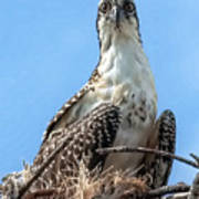 Osprey Nesting Art Print