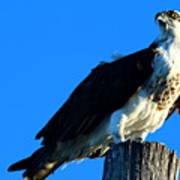 Osprey On A Pole Art Print
