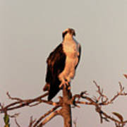 Osprey On The Caloosahatchee River In Florida Art Print