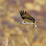 Osprey On The Wing With Fish Art Print