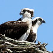 Osprey Pair Art Print