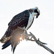 Osprey Silhouette Art Print