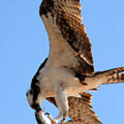Osprey's Catch Art Print