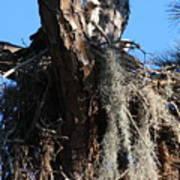 Ospreys In Spanish Moss Nest Art Print